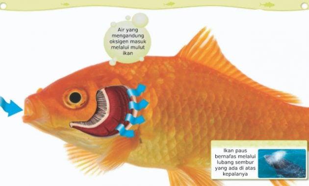 Ikan bernafas melalui insangnya